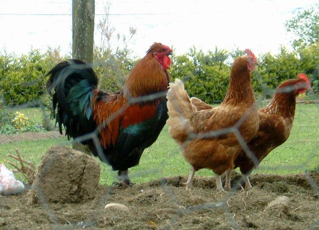 LA POLITIQUE SOCIALISTE dans CHERCHEZ L'ERREUR cop_poules