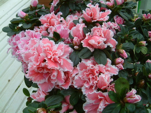 http://photo.ortho.free.fr/images/jardinerie/azalees.jpg